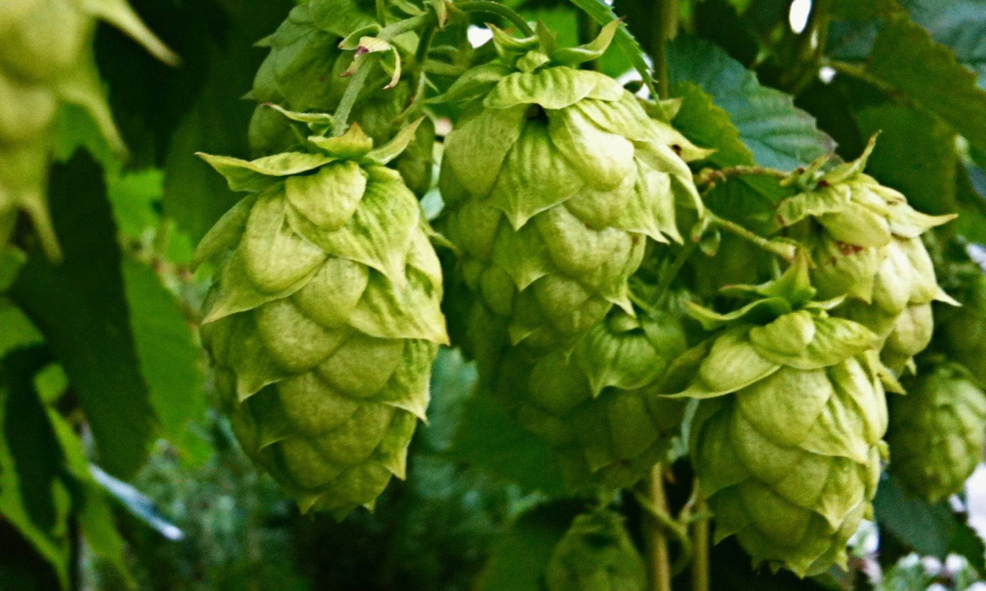 Imperial Hops